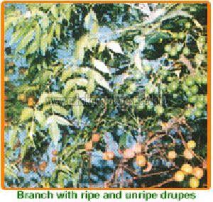Melia Azedarach Seeds