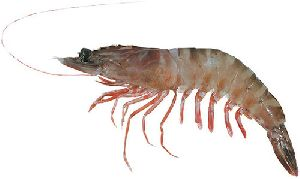 Tiger Prawn Fish
