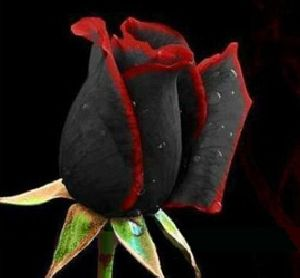 Black Rose Flower seeds