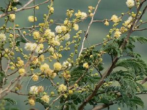 White Bark Acacia Seeds