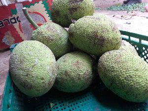 Fresh Breadfruit