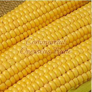 Yellow Maize 04