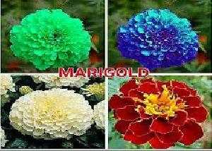 Marigold Flower Seeds 06