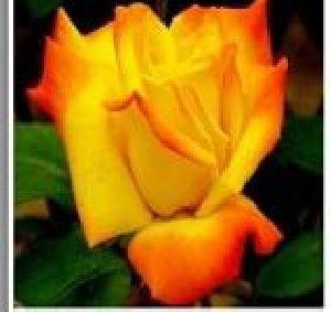 Rose Flower Seeds 01