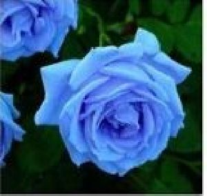 Rose Flower Seeds 02