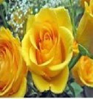 Rose Flower Seeds 03