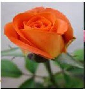 Rose Flower Seeds 04