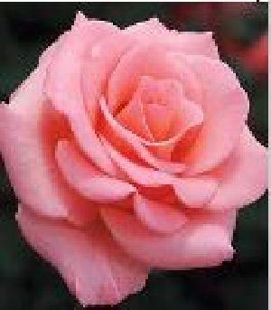 Rose Flower Seeds 05