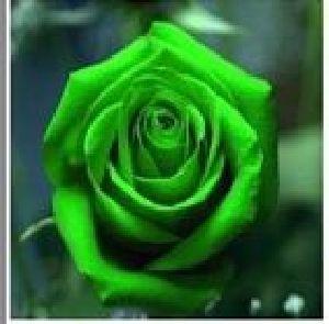 Rose Flower Seeds 06