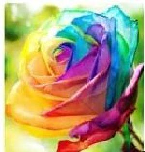 Rose Flower Seeds 08