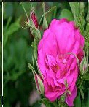 Rose Flower Seeds 10
