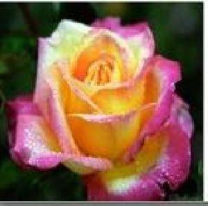 Rose Flower Seeds 11