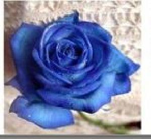 Rose Flower Seeds 12
