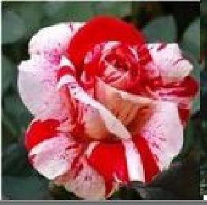 Rose Flower Seeds 13