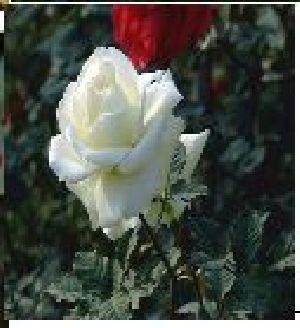 Rose Flower Seeds 14