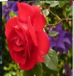 Rose Flower Seeds 15