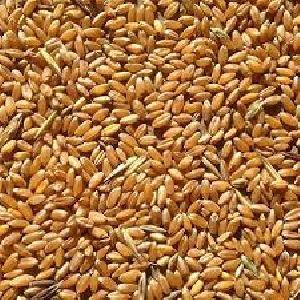 Human Feed Wheat Seeds