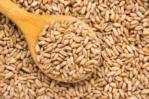 Lokwan Wheat Seeds