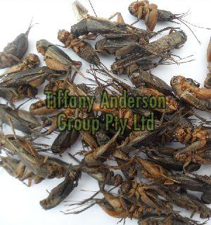 High Protein Dried Crickets