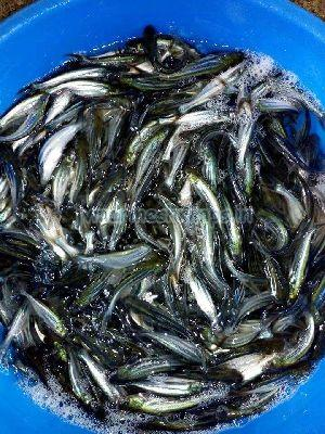 Fish Seed 01