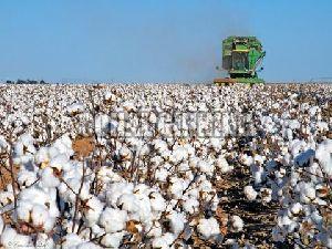 Cotton Seeds 05