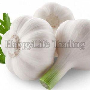 Fresh Big Garlic