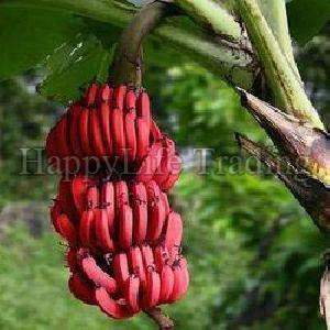 Fresh Red Banana
