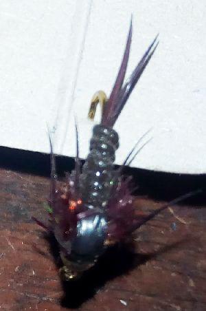 Black orange stonefly
