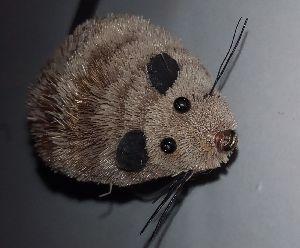 Mouse rat