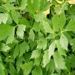 Lovage Leaves