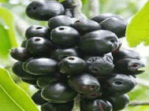 Java Plum Plant
