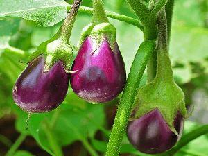 Brinjal Plant