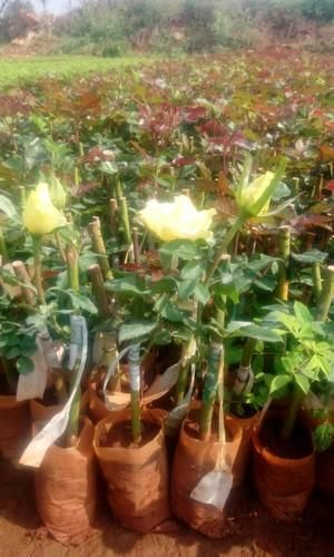 Gold Strike Dutch Rose Plant