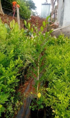 Madhukamini Plant