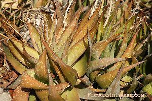 Dried Aloe Vera Leaves 07