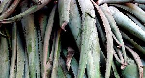 Dried Aloe Vera Leaves 09