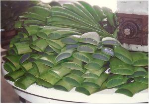 Fresh Aloe Vera Leaves 04