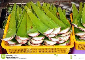 Fresh Aloe Vera Leaves 07
