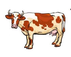 Live Cow