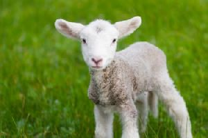 Live Lamb