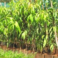 Alphonso Mango Plants 01