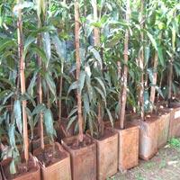 Alphonso Mango Plants 02