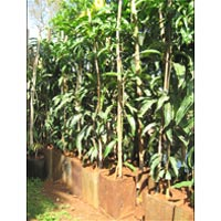 Alphonso Mango Plants 03