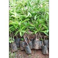 Kesar Mango Plants 01