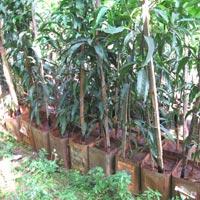Kesar Mango Plants 02