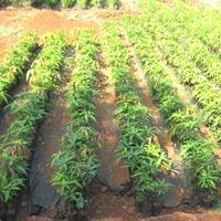 Kesar Mango Plants 03