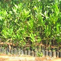 Mangium Plants