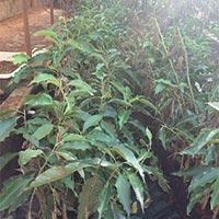 Son Champa Plants