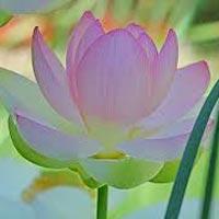 Pink Lotus Absolute Oil
