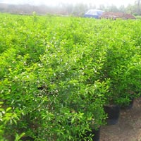 Citrus Lemon Nursery Plant
